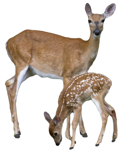 Transparent Deer With Baby Deer PNG - Deer PNG HD
