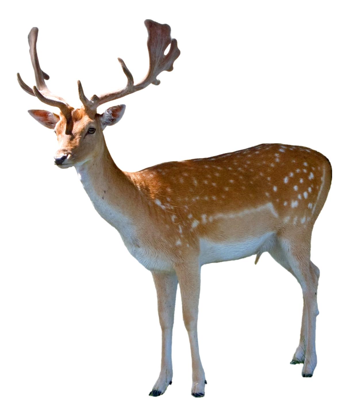 Deer PNG - 21575