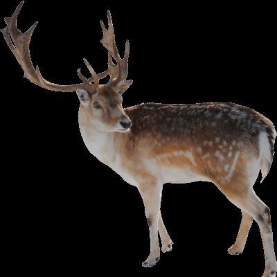 Reindeer Looking - Deer PNG
