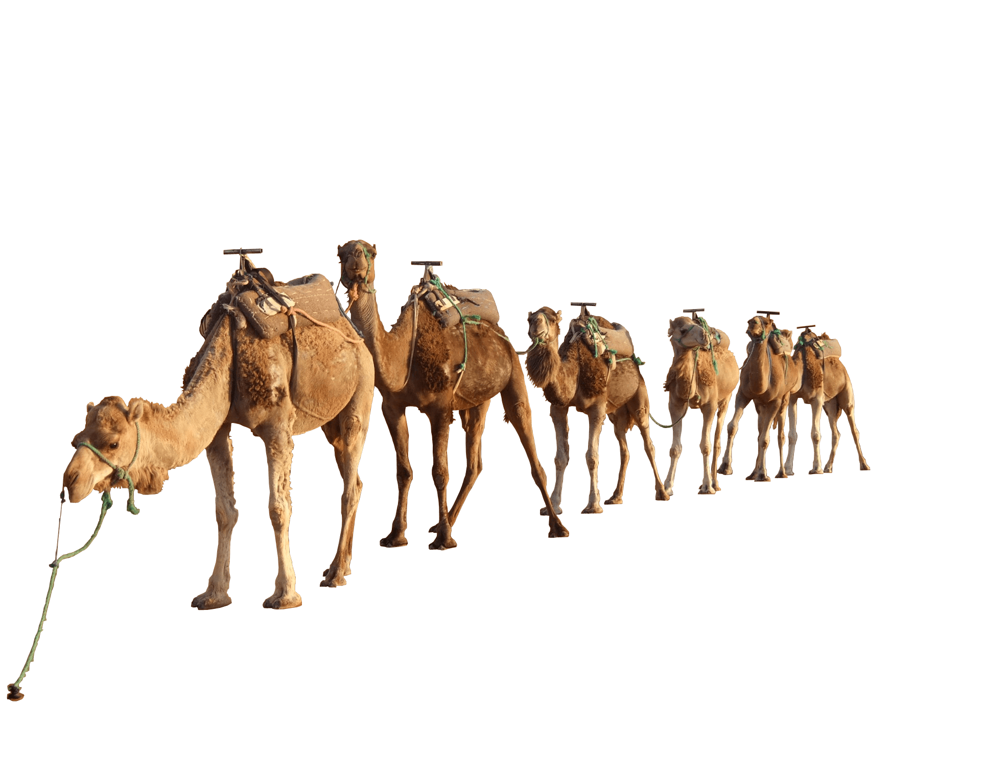 Camel Group - Desert Camel PNG