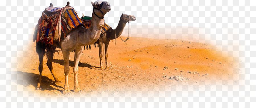 Camel Morocco Desert - Camel PNG Clipart - Desert Camel PNG