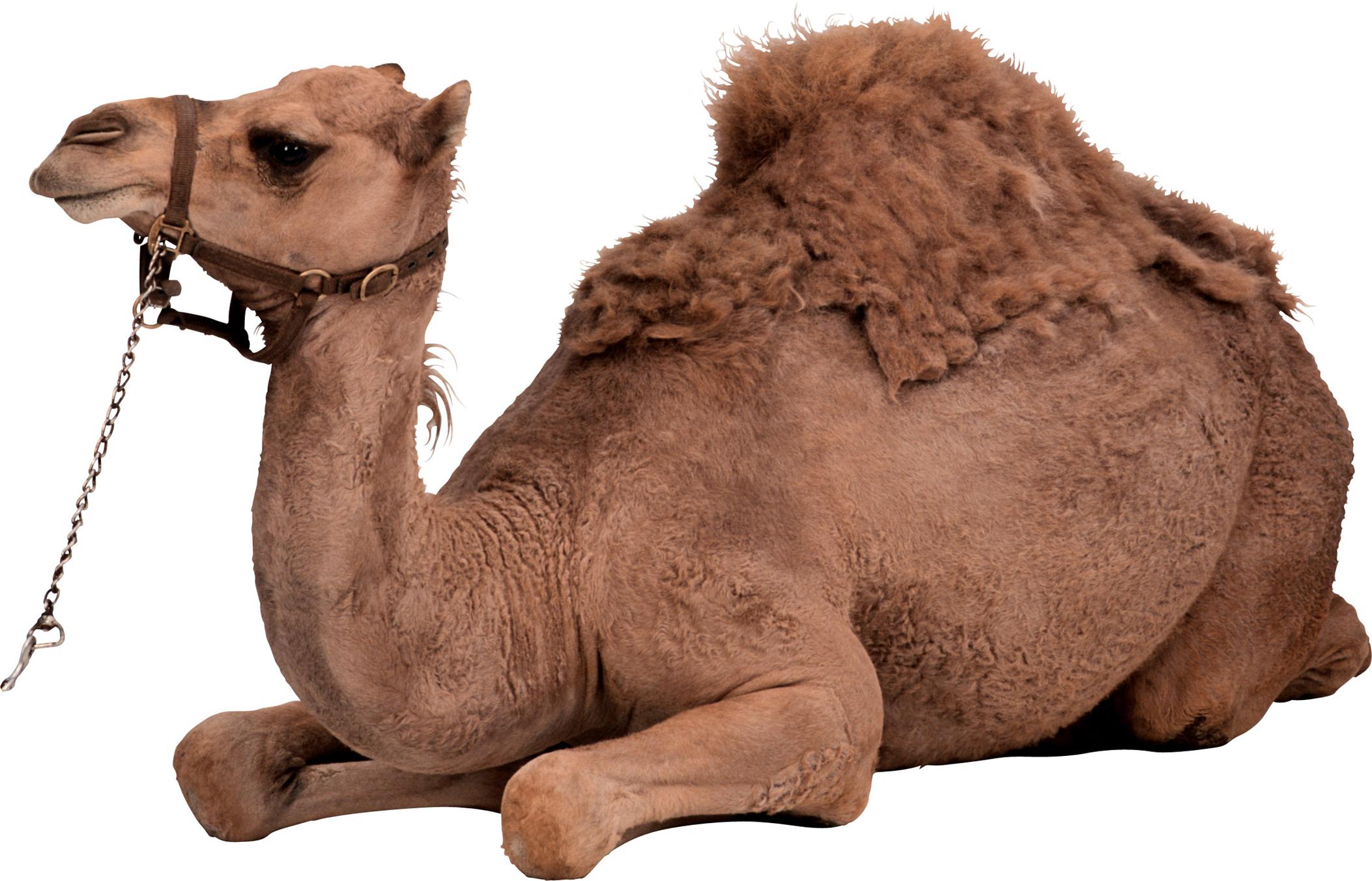 Camel PNG - Desert Camel PNG