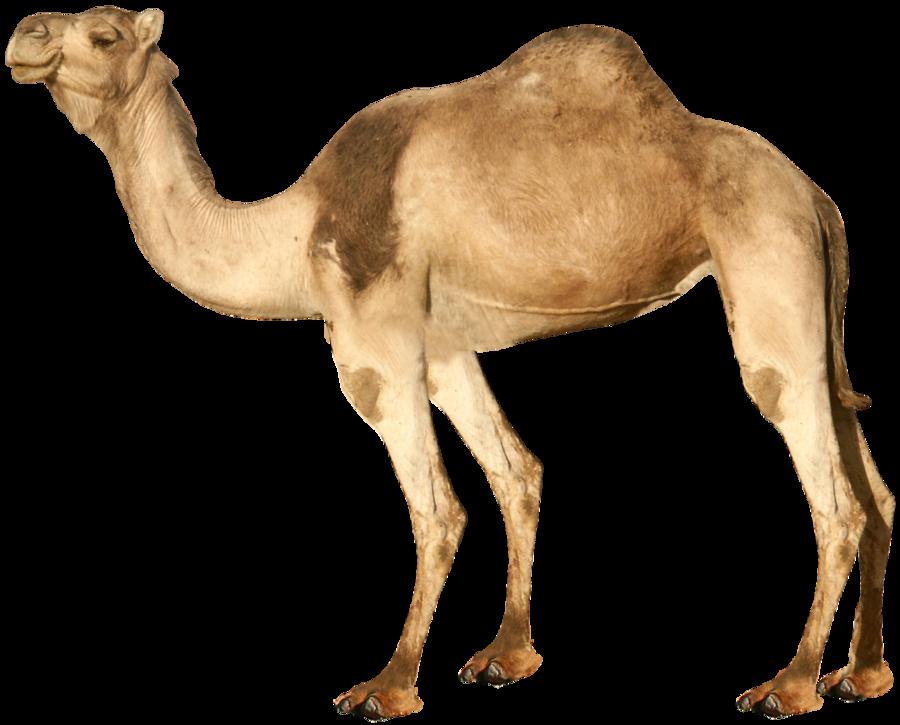 Camel PNG 3 - Desert Camel PNG