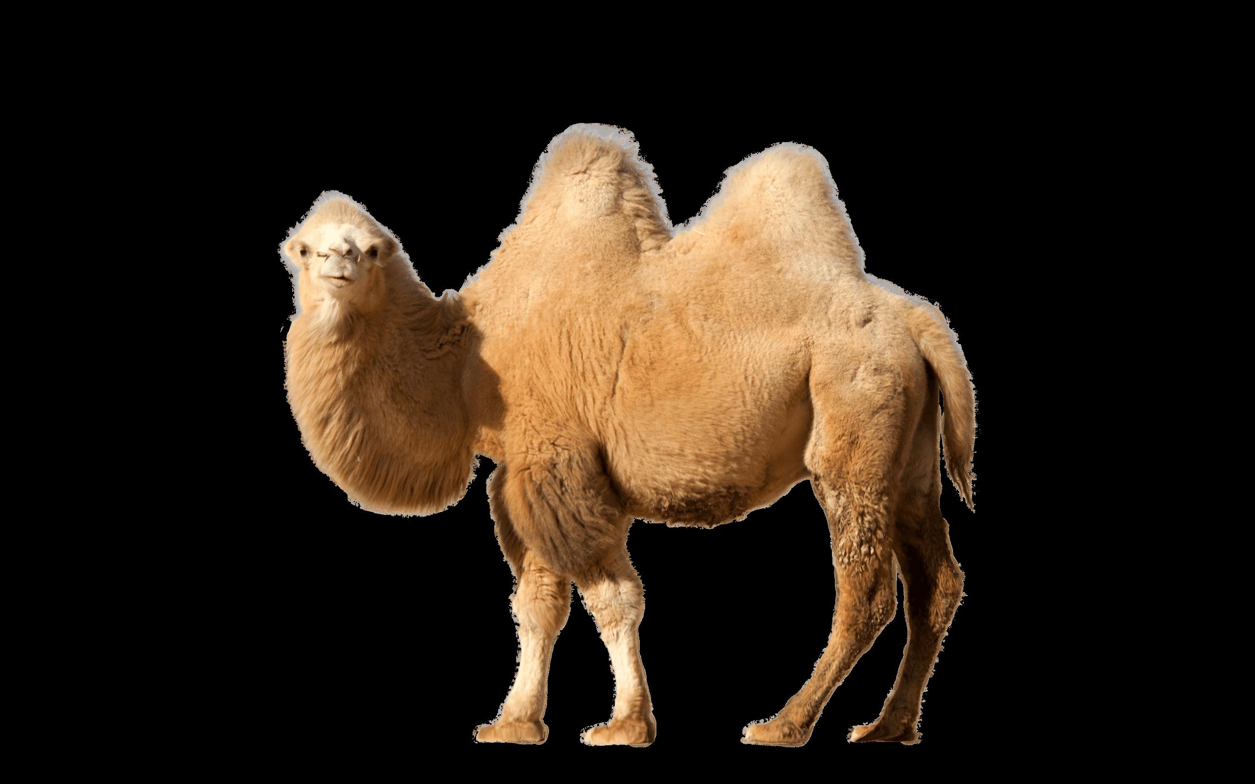 Camel Single - Desert Camel PNG