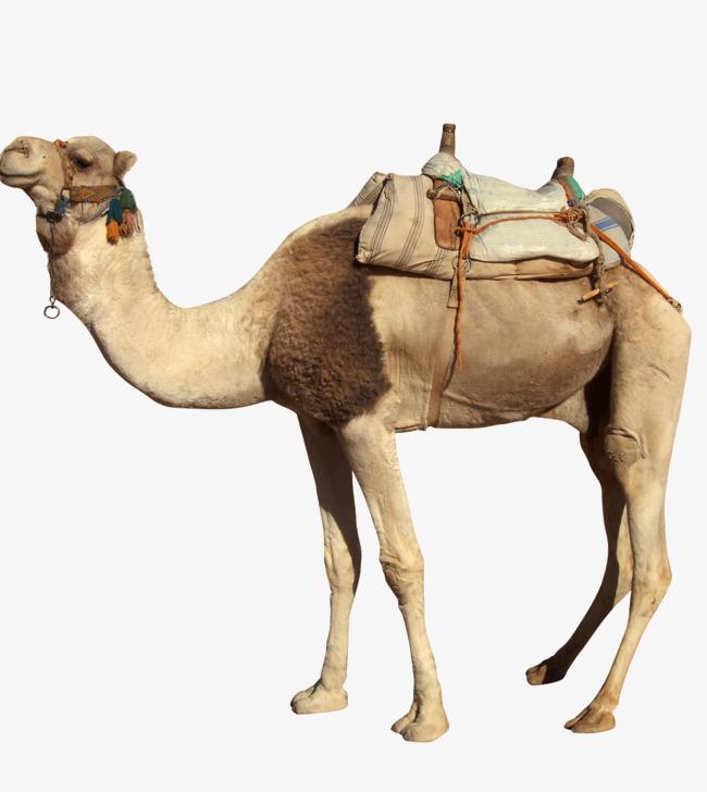 Desert camel, Animal, Biological, Camel PNG Image and Clipart - Desert Camel PNG