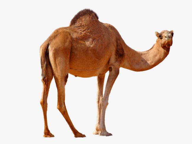 Desert nemesis camel, Camel, Leave The Material, Desert Camel Free PNG Image - Desert Camel PNG