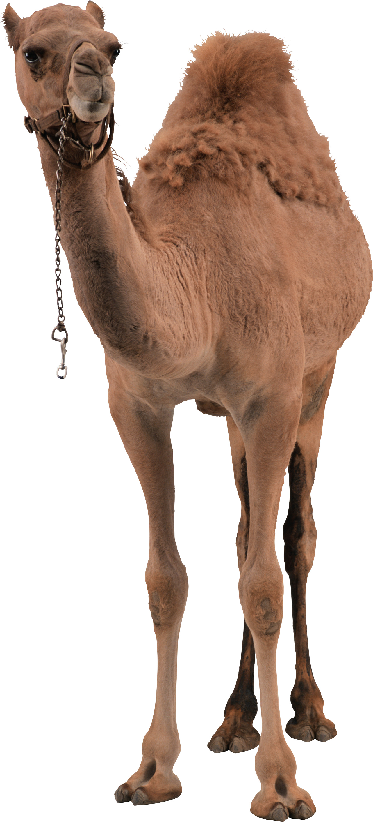 This high quality free PNG image without any background is about camel,  desert, desert - Desert Camel PNG