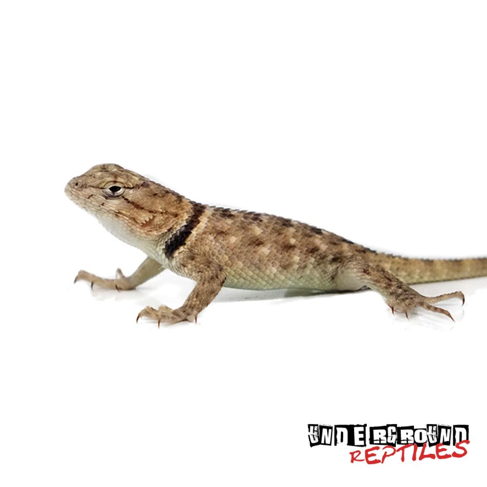Baby Desert Spiny Lizard For Sale - Desert Lizard PNG