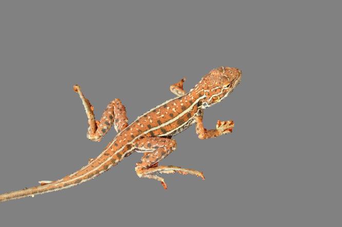 Baby Desert Spiny Lizard For