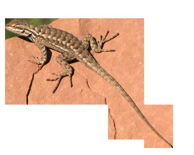 Lizard Transparent PNG - Desert Lizard PNG