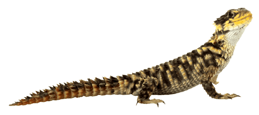 Slide Title - Desert Lizard PNG