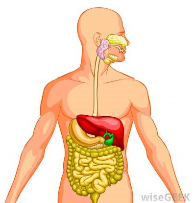 Digestive System PNG HD - 146012