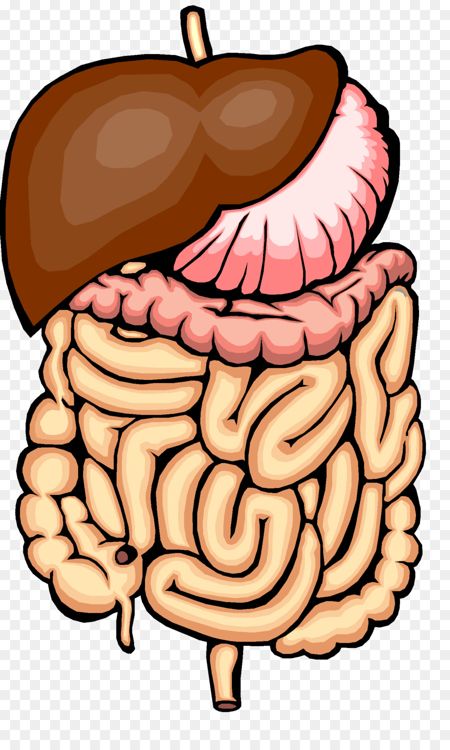 Digestive System PNG HD - 146006