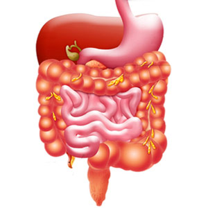 Digestive System PNG HD - 146000