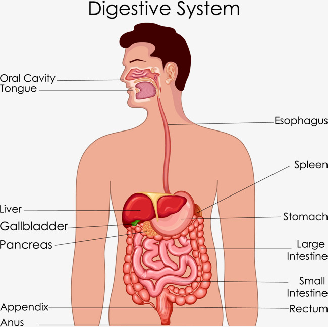 Digestive System PNG HD - 146005