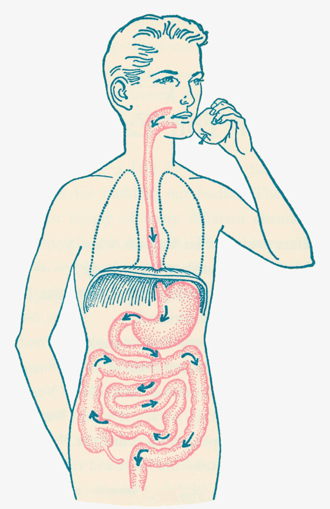 Digestive System PNG HD - 146001