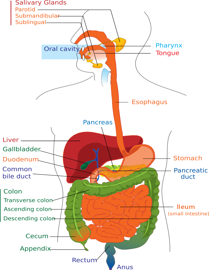 Digestive System PNG HD - 146008