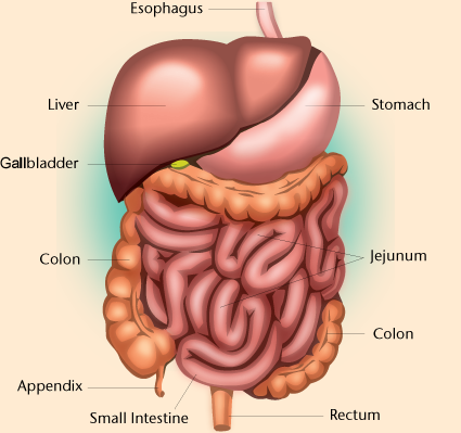 Digestive System PNG HD - 146010