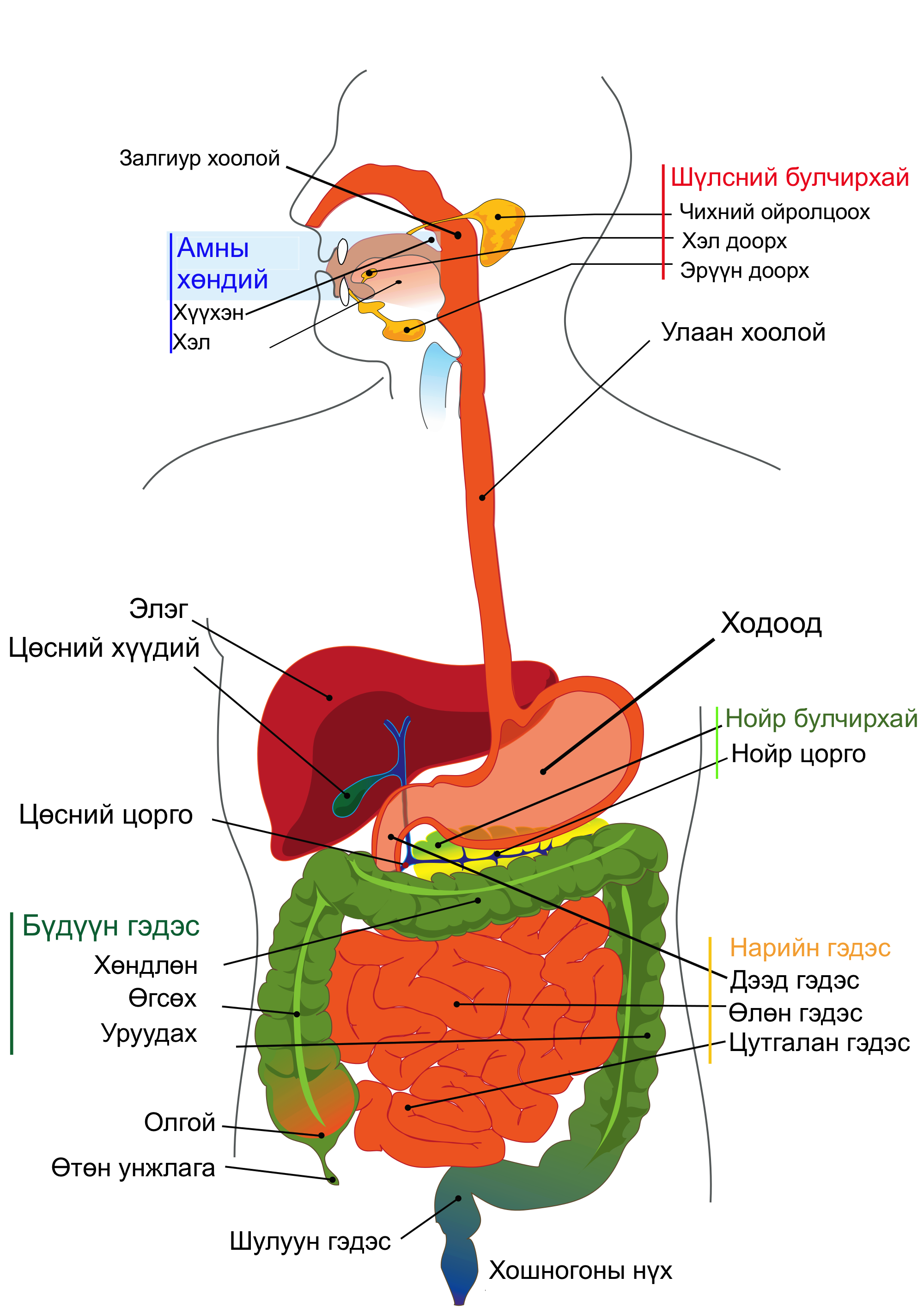 Digestive System PNG HD - 146015