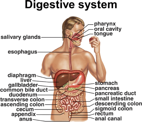 Digestive System PNG HD - 146009