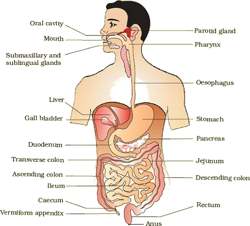 Digestive System PNG HD - 146016