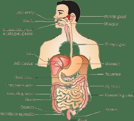 Digestive System Png Hd Transparent Digestive System Hdg Images