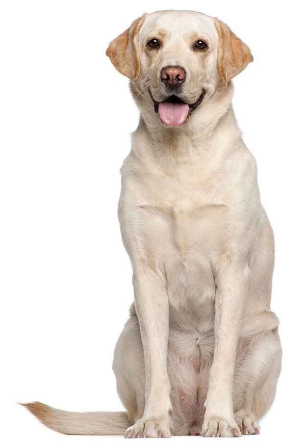 LABRADOR RETRIEVER - Dog HD PNG