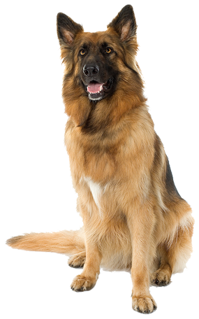 this photo shows a sitting dog looking at the camera - Dog HD PNG