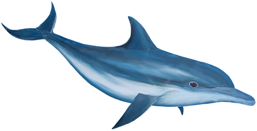 Dolphin HD PNG - 94288
