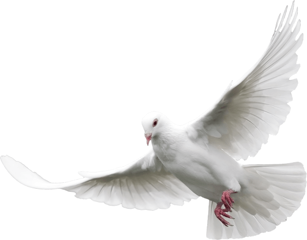 Dove - Pigeon PNG