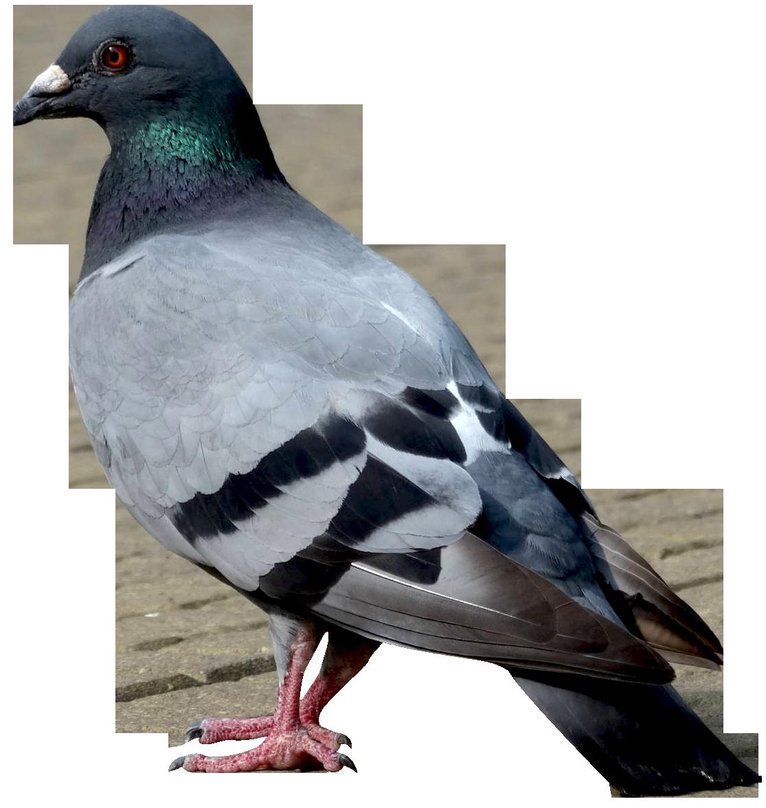 Dove PNG-PlusPNG.com-1115 - Dove PNG
