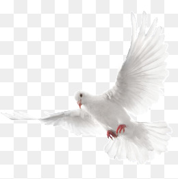 A white dove flying, White, Pigeon, Fly PNG and PSD - Dove PNG