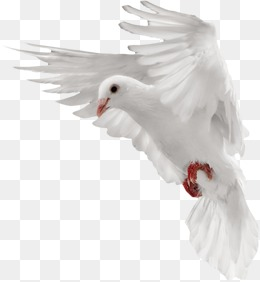 White dove, Pigeon, White, Fly PNG Image - Dove PNG