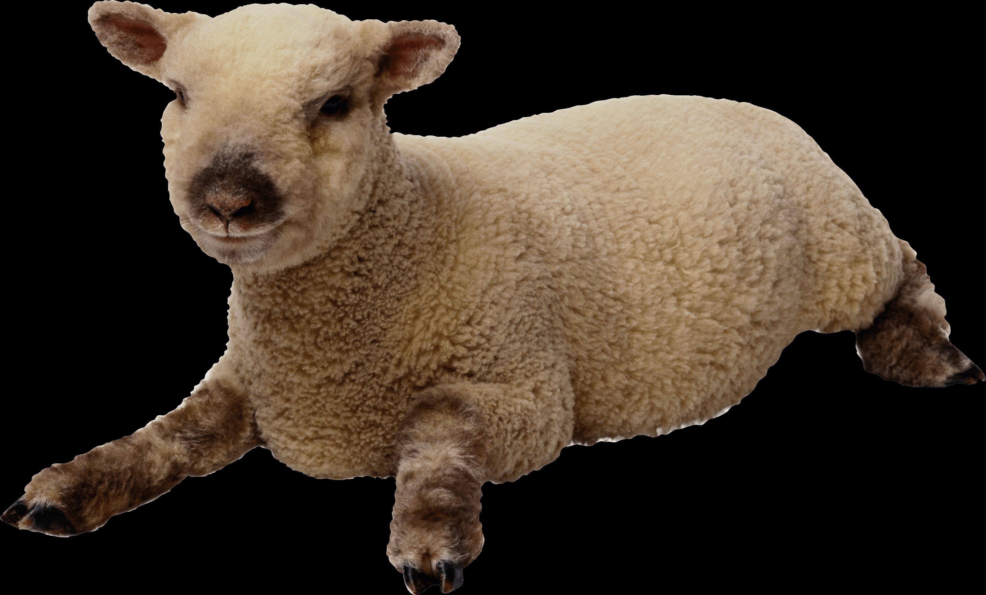 Sheep PNG - 6532