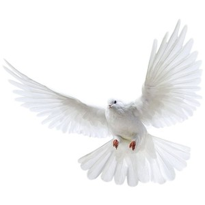 Download PNG image White flying pigeon PNG image - Pigeon PNG