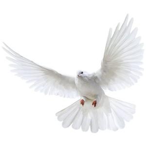 Pigeon PNG - 775