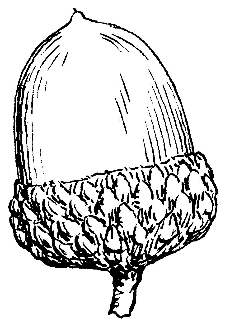 Acorn PNG - 5290