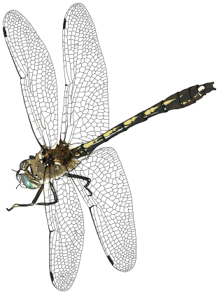 Dragonfly PNG - 1734