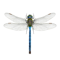 Dragonfly PNG - 1733