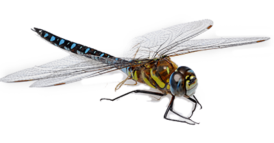 Dragonfly PNG - 1729