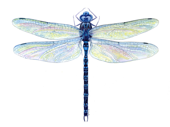 dragonfly.png (550×410) - Dragonfly PNG