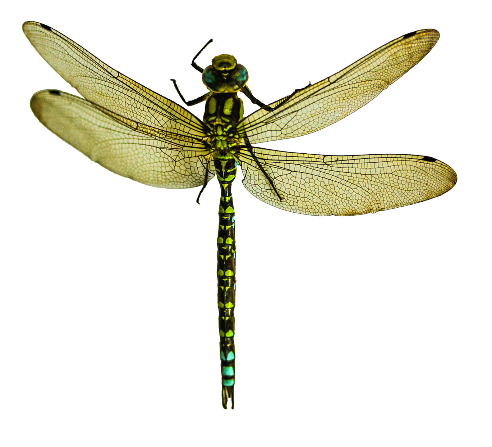 Dragonfly PNG - 1730