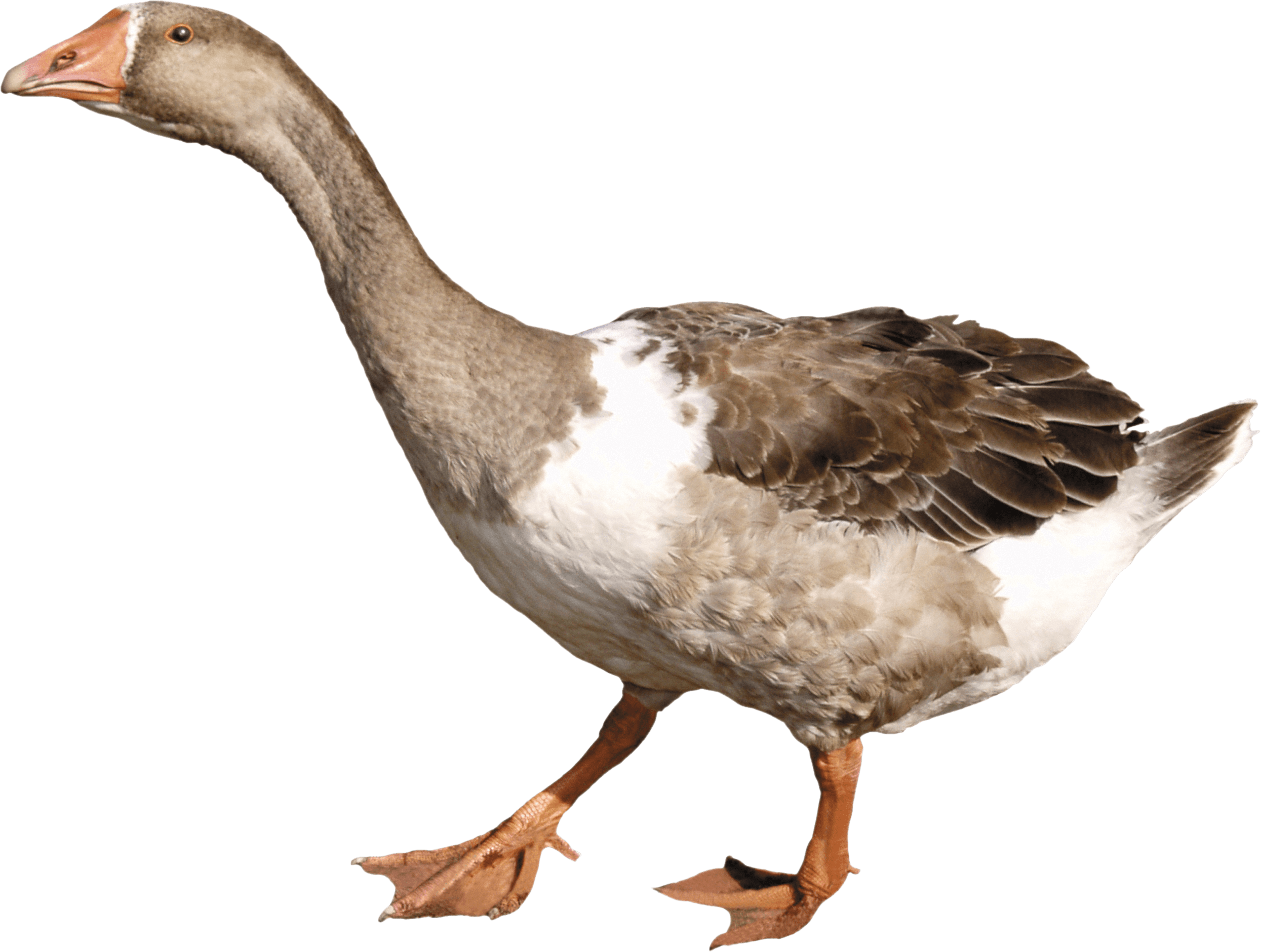 Duck HD PNG - 89564