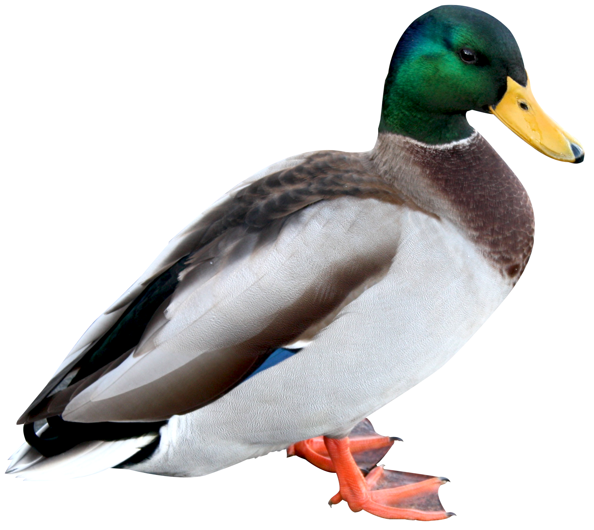 Duck HD PNG
