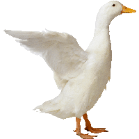 Duck HD PNG - 89559
