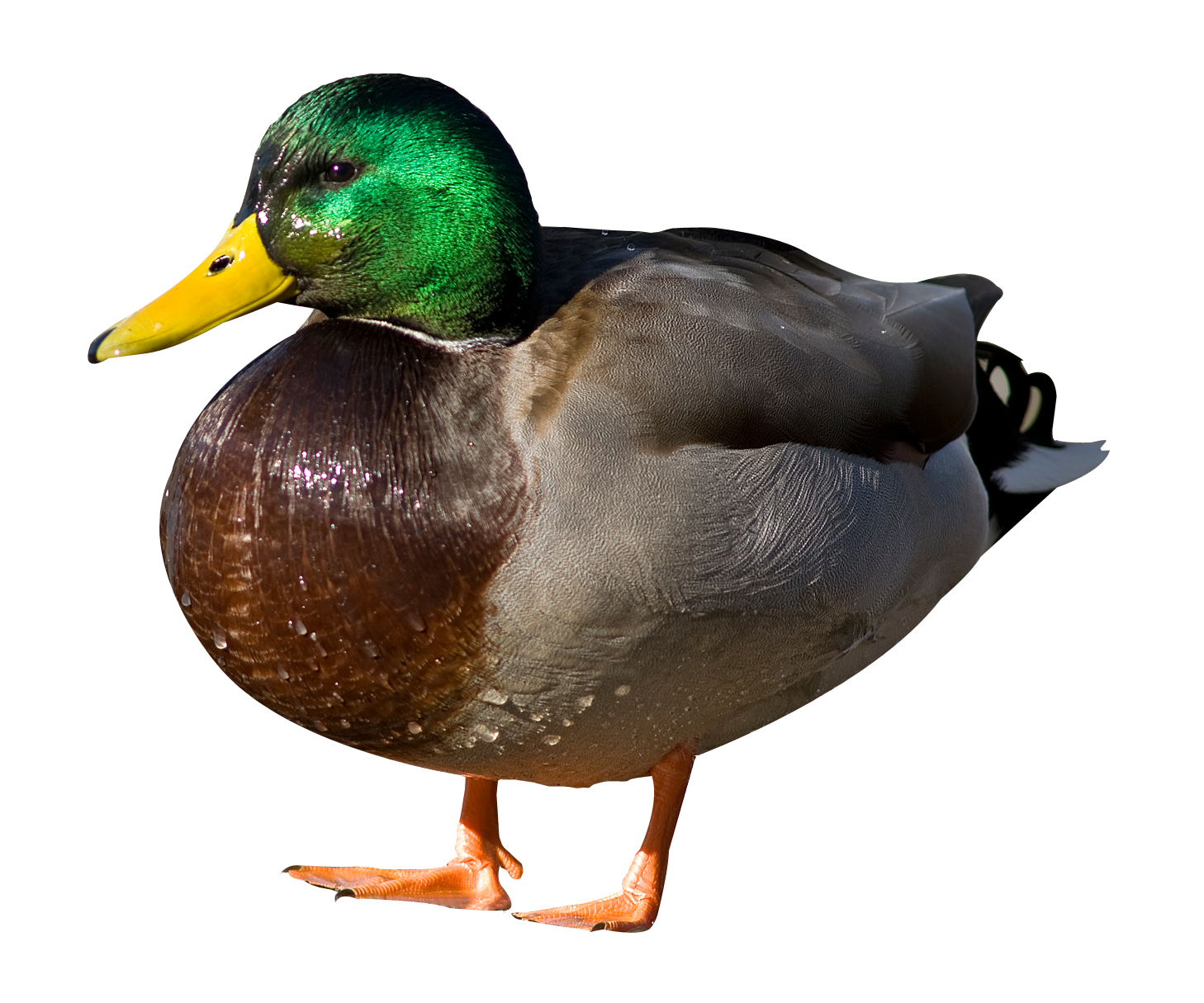 Duck HD PNG - 89565