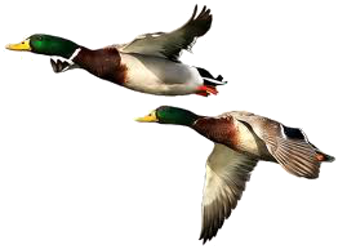 Duck PNG Free Download - Duck HD PNG - Duck Hunting PNG HD