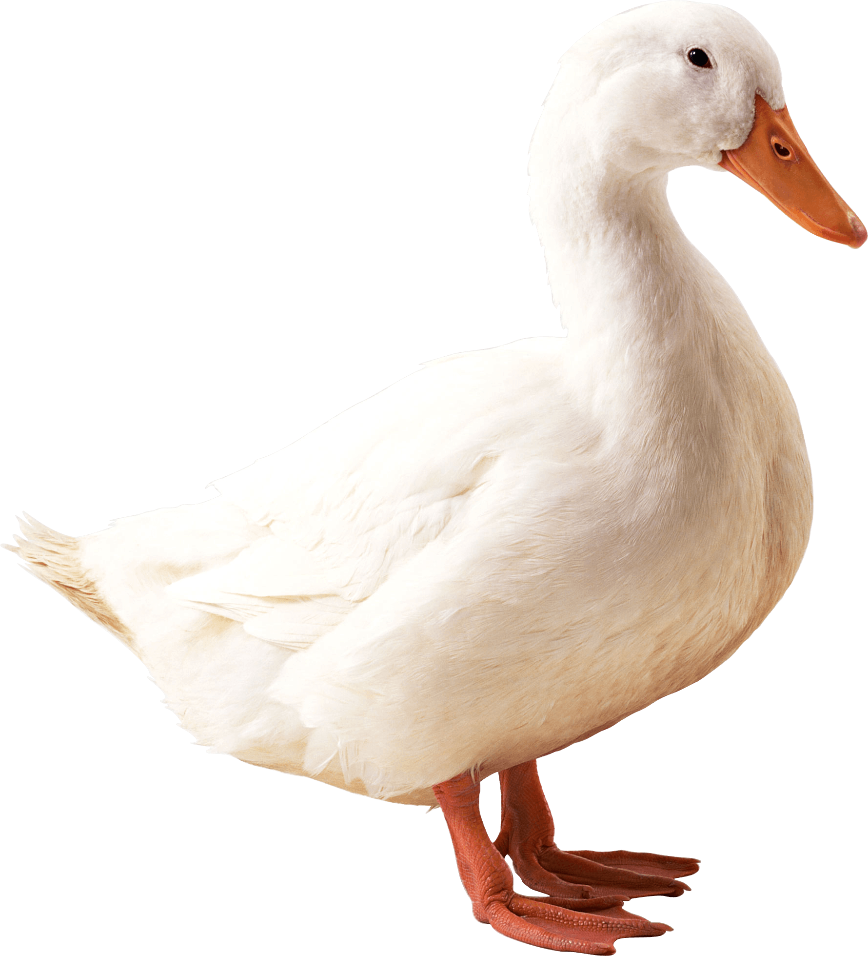White Duck Png Image PNG Image - Duck PNG