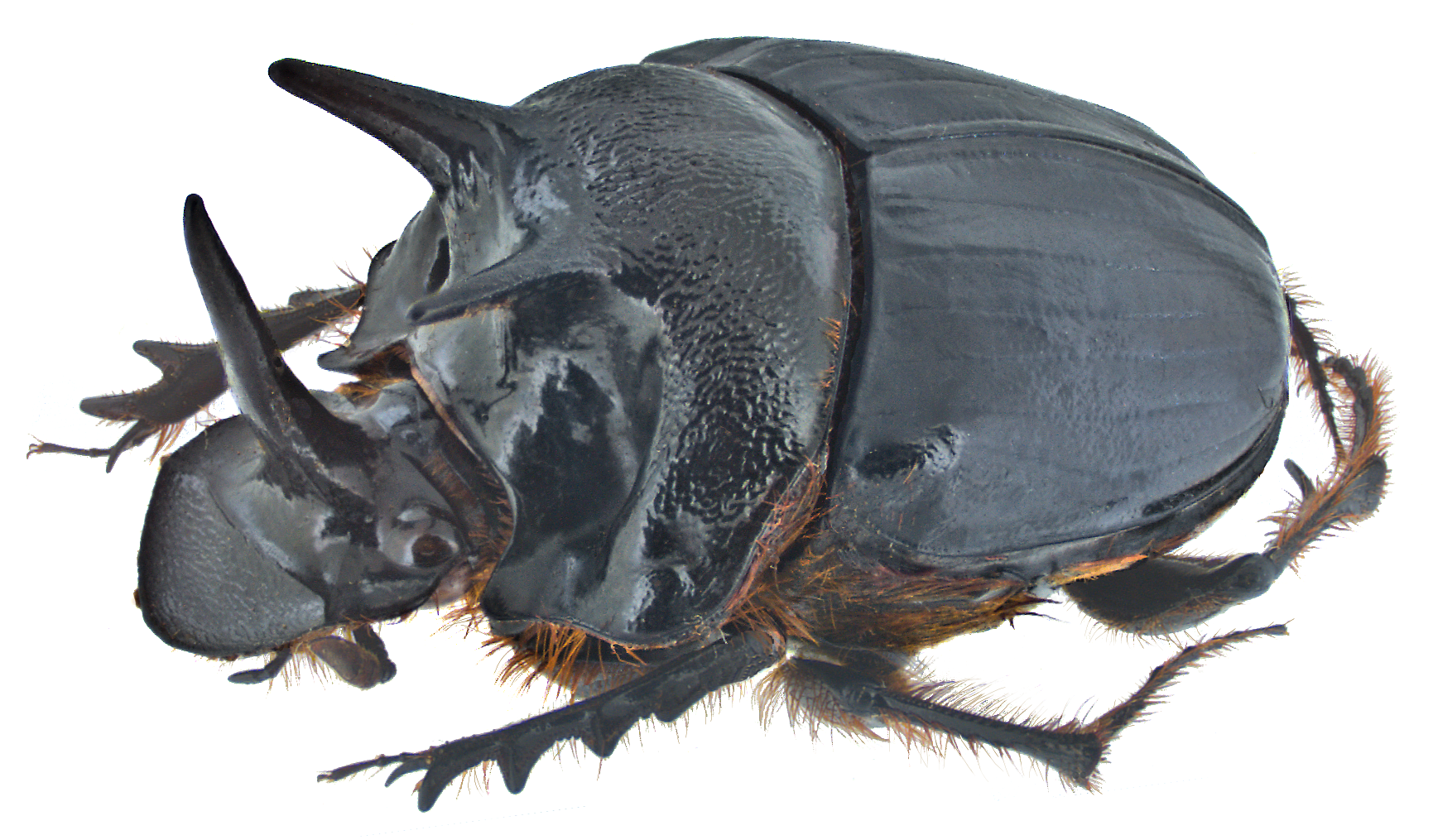 Dung Beetle PNG