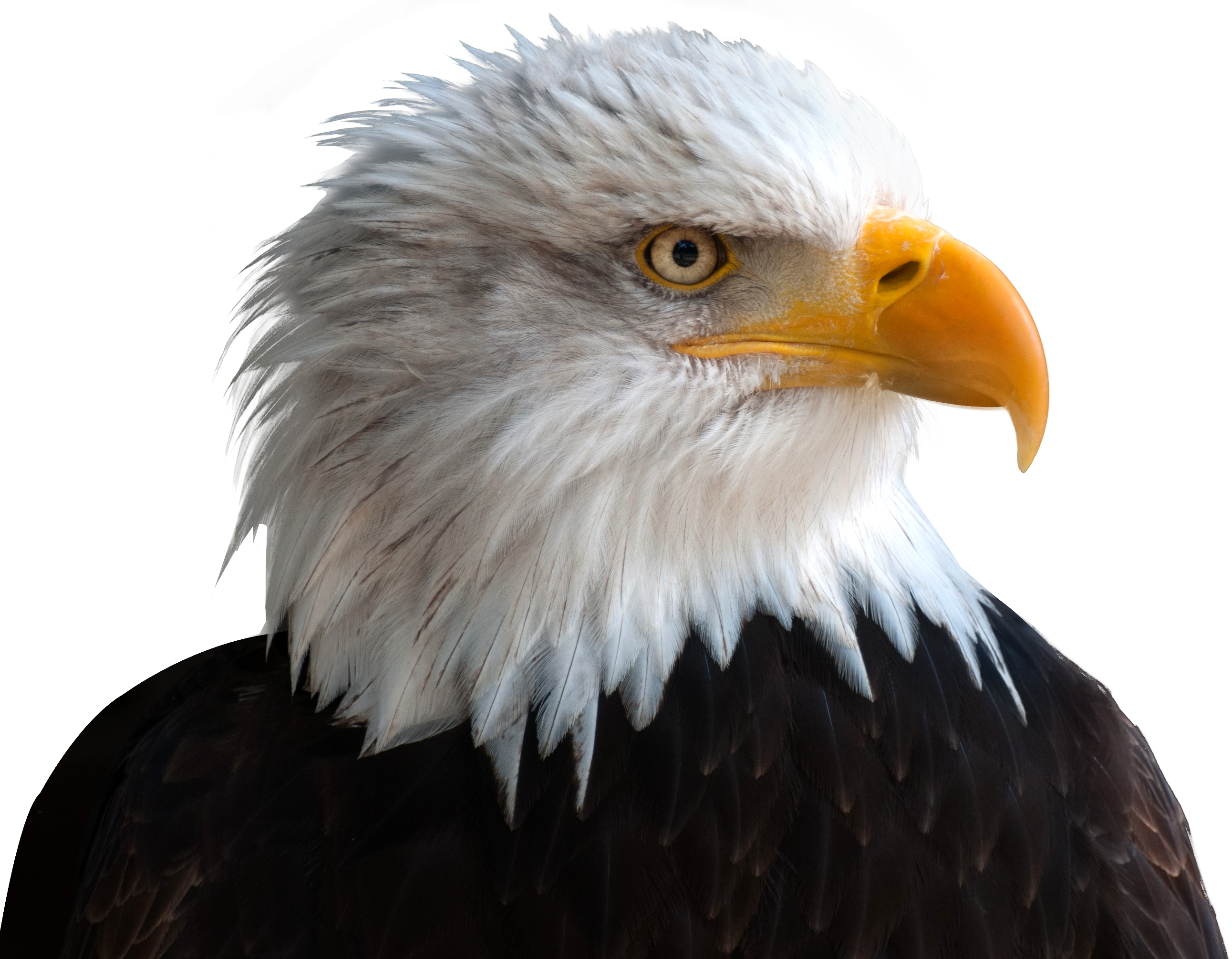 bald eagle render by - photo #9